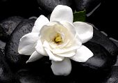 pic of gardenia  - White gardenia flower with therapy stones - JPG