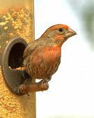 foto of crossbill  - A Red Crossbill looks for danger perched at the bird feeder - JPG