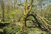 stock photo of alder-tree  - Old Tree by Stream in Alder Woodland RSPB Dinas Llandovery Central Wales - JPG