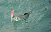 stock photo of game-fish  - Spanish mackerel fish caught on hook and fishing line in ocean - JPG