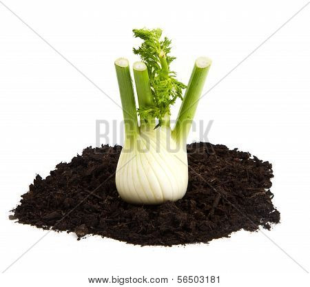 Fennel on soil humus bed isolated on white background