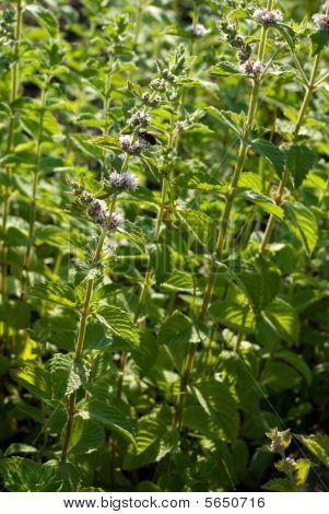 Mentha Spicata (spearmint, Spear Mint)