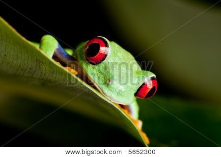 Red Eyed Frog On A Leaf