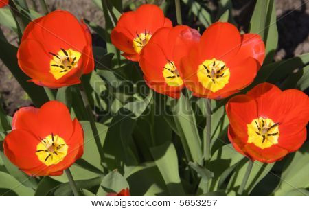 red tulips close up (growing flowers and leafs)