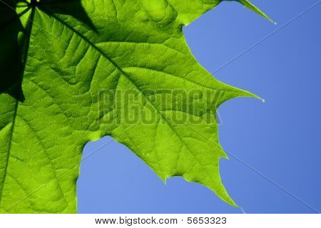 maple leaf on blue sky background
