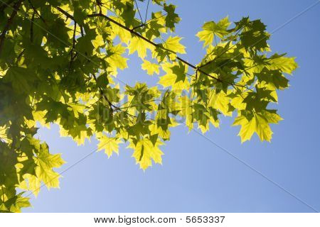 Maple foliage on sky background