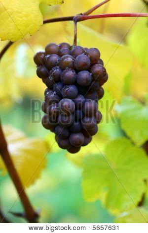 Fall Pinot Gris Grapes