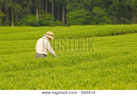 The Tea Farmer