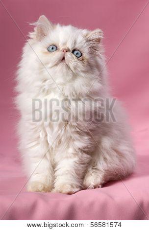 Persian Cream Point Kitten