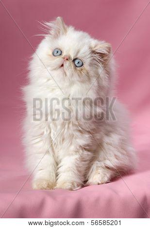 Persian Cream Colorpoint Kitten