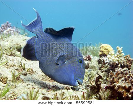 Big blue triggerfish