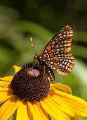 pic of black-eyed susans  - A beautiful butterfly called a Baltimore Checkerspot is nectaring on a Black-eyed Susan along a northern Wisconsin forest road.