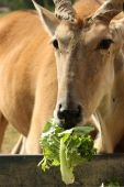 pic of eland  - An African eland munching on lettuce at the local zoo - JPG