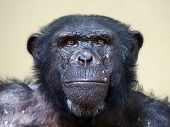 stock photo of chimp  - A portrait of a senior male chimpanzee - JPG