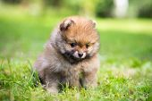 stock photo of pomeranian  - Small Pomeranian puppy sitting in the grass - JPG