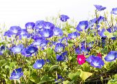 stock photo of ipomoea  - Morning glory or Ipomoea is flowering plants in the family Convolvulaceae - JPG