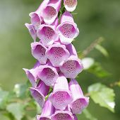 foto of digitalis  - purple flowers of a common foxglove taken in the bavarian forest - JPG