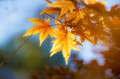 Beautiful Autumn Maple Tree Leaves