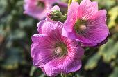picture of hollyhock  - A branch of sweet pink Hollyhock flowers - JPG