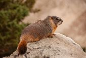 stock photo of marmot  - A Yellowbelly Marmot sits on a rock to get a good view in the Wyoming mountains - JPG