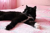 stock photo of prone  - black cat lying prone on the pink matrimonial bed