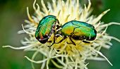 Chafer Beetles .