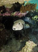 image of sergeant major  - A giant puffer shares its shelter under table coral with sergeant major damselfish - JPG