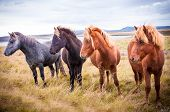 stock photo of iceland farm  - The Icelandic horse is a breed of horse developed in Iceland - JPG