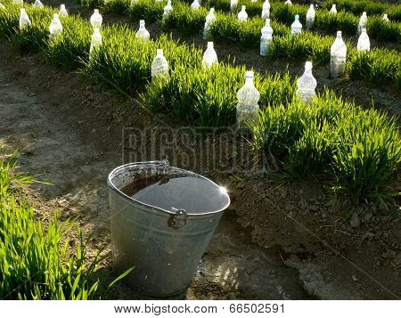 bucket full of water near vegetable beds with plastic bottles as small hothouses among growing wheat as green manure