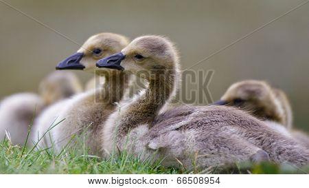 Baby Goslings
