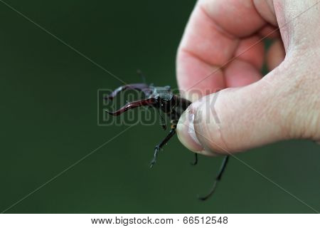 Biologist Holding Stag Beetle