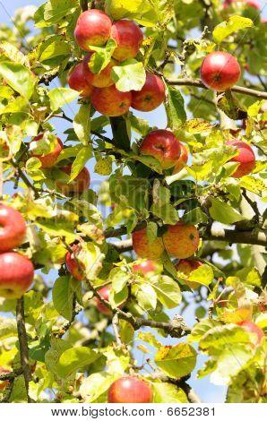 Fallen fruit - apple tree