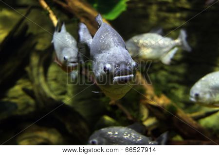 Piranhas in the aquarium