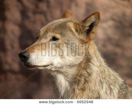 The Large Image Of A Standing Wolf