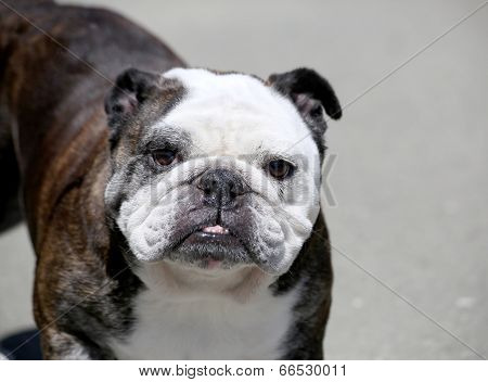 Older English Bulldog