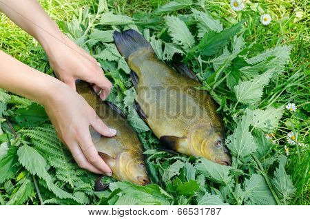 Hand Puts On Nettle Big Shiny Tench Fishes