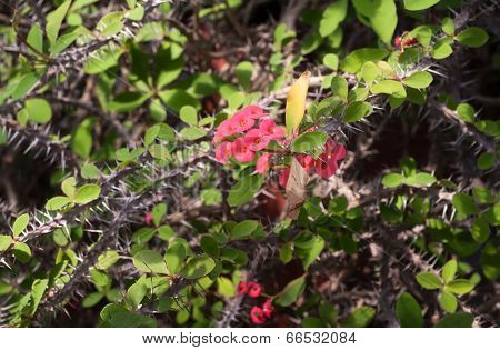 Small Red Flowers On Barbed Branches