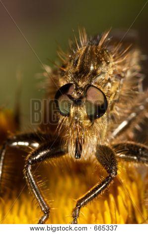 Killer Fly (Lapria Flava)