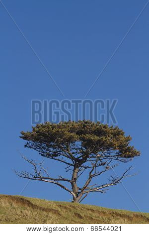 Scots Pine Tree, Pinus Sylvestris, Free Blue Area At Top Of Image.