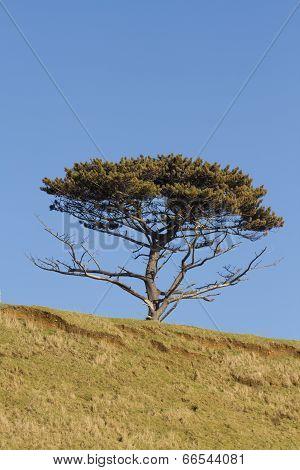 Scots Pine Tree, Pinus Sylvestris.