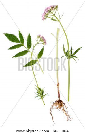Valerian blad, wortel en bloem
