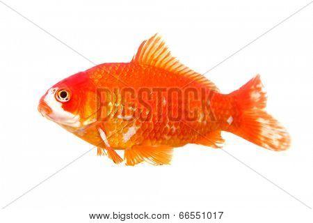 Large Goldfish isolated on white