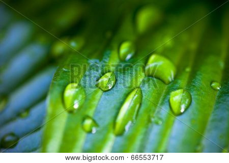 Dew Drops On Hosta Green Leaves