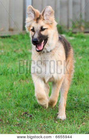 German Shepherd puppy having fun.