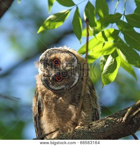 Asio Otus Juvenile In Tree