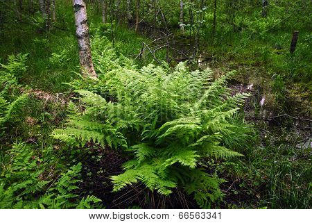 Fern Summer In Reserve Insanely Beautiful, Lush, Green