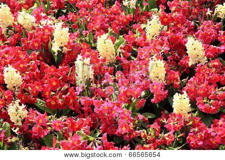 White hyacinth and red primroses
