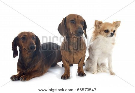 Dachshund Dogs And Chihuahua