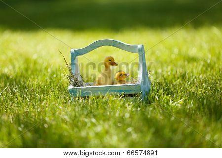 Little cute ducklings  in wooden basket on green grass, outdoors
