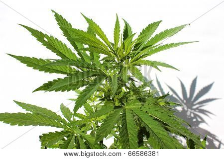 Close up of A Medical Marijuana Plant isolated on white. This strain of Marijuana is called White Widow. Medical Marijuana is quickly becoming legalized in many of the united states.